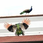 Foto Nicoloro G.   14/10/2020   Ravenna   Nella localita' balneare di Punta Marina di Ravenna si fanno i conti con una invasione di pavoni che hanno preso possesso della zona scorazzando per strada, su tetti, cornicioni, balconi, giardini. nella foto alcuni esemplari di pavoni.