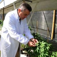 Foto Nicoloro G. 13/06/2012 Rovigo Il CRA, Centro di Ricerche in Agricoltura, e' l' unico in Italia ad essere autorizzato alla coltivazione dei cannabinoidi, sia quelli che hanno effetti psicotropi che quelli non psicoattivi, per fini di ricerca e ad uso terapeutico. In italia si stima che migliaia di pazienti, contro il centinaio rilevato ufficialmente, fanno uso di cannabis terapeutica ricorrendo all' auto-coltivazione o al mercato nero. nella foto Gianpaolo Grassi
