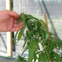 Foto Nicoloro G. 13/06/2012 Rovigo Il CRA, Centro di Ricerche in Agricoltura, e' l' unico in Italia ad essere autorizzato alla coltivazione dei cannabinoidi, sia quelli che hanno effetti psicotropi che quelli non psicoattivi, per fini di ricerca e ad uso terapeutico. In italia si stima che migliaia di pazienti, contro il centinaio rilevato ufficialmente, fanno uso di cannabis terapeutica ricorrendo all' auto-coltivazione o al mercato nero. nella foto Pianta di cannabis con semi