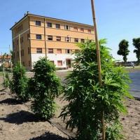 Foto Nicoloro G. 13/06/2012 Rovigo Il CRA, Centro di Ricerche in Agricoltura, e' l' unico in Italia ad essere autorizzato alla coltivazione dei cannabinoidi, sia quelli che hanno effetti psicotropi che quelli non psicoattivi, per fini di ricerca e ad uso terapeutico. In italia si stima che migliaia di pazienti, contro il centinaio rilevato ufficialmente, fanno uso di cannabis terapeutica ricorrendo all' auto-coltivazione o al mercato nero. nella foto Piante di cannabis