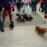 Foto Nicoloro G.   26/05/2019    Milano   Raduno di cani bassotti per una ' Sausage walk ' in pratica una passeggiata con i loro padroni. nella foto alcuni dei tantissimi bassotti presenti al raduno.